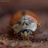 Eglinė boružė - Aphidecta obliterata | Fotografijos autorius : Žilvinas Pūtys | © Macrogamta.lt | Šis tinklapis priklauso bendruomenei kuri domisi makro fotografija ir fotografuoja gyvąjį makro pasaulį.