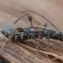 Eglinis laibūnas - Molorchus minor | Fotografijos autorius : Žilvinas Pūtys | © Macrogamta.lt | Šis tinklapis priklauso bendruomenei kuri domisi makro fotografija ir fotografuoja gyvąjį makro pasaulį.