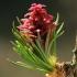 Europinis maumedis - Larix decidua | Fotografijos autorius : Gintautas Steiblys | © Macrogamta.lt | Šis tinklapis priklauso bendruomenei kuri domisi makro fotografija ir fotografuoja gyvąjį makro pasaulį.
