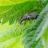 Dilgėlinis lapinukas | Fotografijos autorius : Darius Baužys | © Macrogamta.lt | Šis tinklapis priklauso bendruomenei kuri domisi makro fotografija ir fotografuoja gyvąjį makro pasaulį.