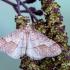 Gelsvasis ankstyvasis sprindžius - Erannis marginaria = Agriopis marginaria | Fotografijos autorius : Vaida Paznekaitė | © Macrogamta.lt | Šis tinklapis priklauso bendruomenei kuri domisi makro fotografija ir fotografuoja gyvąjį makro pasaulį.