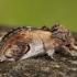 Gelsvasis kuoduotis - Notodonta ziczac | Fotografijos autorius : Žilvinas Pūtys | © Macrogamta.lt | Šis tinklapis priklauso bendruomenei kuri domisi makro fotografija ir fotografuoja gyvąjį makro pasaulį.