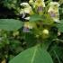 Geltonžiedė aklė - Galeopsis speciosa   Fotografijos autorius : Kęstutis Obelevičius   © Macrogamta.lt   Šis tinklapis priklauso bendruomenei kuri domisi makro fotografija ir fotografuoja gyvąjį makro pasaulį.