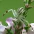 Geltonasis žiedvoris - Misumena vatia, patinas | Fotografijos autorius : Vidas Brazauskas | © Macrogamta.lt | Šis tinklapis priklauso bendruomenei kuri domisi makro fotografija ir fotografuoja gyvąjį makro pasaulį.