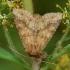 Geltonasis sėklinukas - Conisania luteago | Fotografijos autorius : Žilvinas Pūtys | © Macrogamta.lt | Šis tinklapis priklauso bendruomenei kuri domisi makro fotografija ir fotografuoja gyvąjį makro pasaulį.