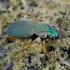 Geltonkojis žalsvažygis - Chlaeniellus nitidulus | Fotografijos autorius : Romas Ferenca | © Macrogamta.lt | Šis tinklapis priklauso bendruomenei kuri domisi makro fotografija ir fotografuoja gyvąjį makro pasaulį.