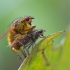 Geltonoji mėšlamusė - Scathophaga stercoraria | Fotografijos autorius : Zita Gasiūnaitė | © Macrogamta.lt | Šis tinklapis priklauso bendruomenei kuri domisi makro fotografija ir fotografuoja gyvąjį makro pasaulį.