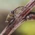 Gilinis vaisiastraublis - Curculio glandium | Fotografijos autorius : Kazimieras Martinaitis | © Macrogamta.lt | Šis tinklapis priklauso bendruomenei kuri domisi makro fotografija ir fotografuoja gyvąjį makro pasaulį.