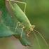 Girinis siūlaūsis - Meconema thalassinum ♀ | Fotografijos autorius : Gintautas Steiblys | © Macrogamta.lt | Šis tinklapis priklauso bendruomenei kuri domisi makro fotografija ir fotografuoja gyvąjį makro pasaulį.