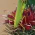 Girinis siūlaūsis - Meconema thalassinum ♂ | Fotografijos autorius : Gintautas Steiblys | © Macrogamta.lt | Šis tinklapis priklauso bendruomenei kuri domisi makro fotografija ir fotografuoja gyvąjį makro pasaulį.