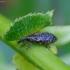 Gluosniastraublis - Dorytomus affinis | Fotografijos autorius : Romas Ferenca | © Macrogamta.lt | Šis tinklapis priklauso bendruomenei kuri domisi makro fotografija ir fotografuoja gyvąjį makro pasaulį.