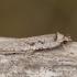 Gluosninis dėmėtasis agonopteriksas - Agonopterix ocellana   Fotografijos autorius : Žilvinas Pūtys   © Macrogamta.lt   Šis tinklapis priklauso bendruomenei kuri domisi makro fotografija ir fotografuoja gyvąjį makro pasaulį.