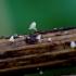 Uknolunas  - Hymenoscyphus herbarum | Fotografijos autorius : Romas Ferenca | © Macrogamta.lt | Šis tinklapis priklauso bendruomenei kuri domisi makro fotografija ir fotografuoja gyvąjį makro pasaulį.