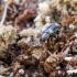 Grybvabalis - Mycetophagus fulvicollis | Fotografijos autorius : Kazimieras Martinaitis | © Macrogamta.lt | Šis tinklapis priklauso bendruomenei kuri domisi makro fotografija ir fotografuoja gyvąjį makro pasaulį.