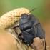 Urvablakė - Cydnus aterrimus | Fotografijos autorius : Gintautas Steiblys | © Macrogamta.lt | Šis tinklapis priklauso bendruomenei kuri domisi makro fotografija ir fotografuoja gyvąjį makro pasaulį.