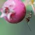Chalcidas - Torymus sp. | Fotografijos autorius : Eglė (Černevičiūtė) Vičiuvienė | © Macrogamta.lt | Šis tinklapis priklauso bendruomenei kuri domisi makro fotografija ir fotografuoja gyvąjį makro pasaulį.