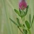 Ilgagalvis dobilas - Trifolium rubens | Fotografijos autorius : Kęstutis Obelevičius | © Macrogamta.lt | Šis tinklapis priklauso bendruomenei kuri domisi makro fotografija ir fotografuoja gyvąjį makro pasaulį.