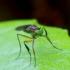 Ilgakojė muselė - Campsicnemus scambus | Fotografijos autorius : Romas Ferenca | © Macrogamta.lt | Šis tinklapis priklauso bendruomenei kuri domisi makro fotografija ir fotografuoja gyvąjį makro pasaulį.