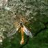 Ilgakojis uodas - Tanyptera atrata ♂ | Fotografijos autorius : Romas Ferenca | © Macrogamta.lt | Šis tinklapis priklauso bendruomenei kuri domisi makro fotografija ir fotografuoja gyvąjį makro pasaulį.