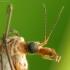 Ilgakojis uodas - tipulidae | Fotografijos autorius : Vidas Brazauskas | © Macrogamta.lt | Šis tinklapis priklauso bendruomenei kuri domisi makro fotografija ir fotografuoja gyvąjį makro pasaulį.