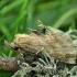 Ilganosis kuoduotis - Pterostoma palpina | Fotografijos autorius : Vidas Brazauskas | © Macrogamta.lt | Šis tinklapis priklauso bendruomenei kuri domisi makro fotografija ir fotografuoja gyvąjį makro pasaulį.
