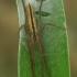Ilgasis laibavoris - Tibellus oblongus  | Fotografijos autorius : Gintautas Steiblys | © Macrogamta.lt | Šis tinklapis priklauso bendruomenei kuri domisi makro fotografija ir fotografuoja gyvąjį makro pasaulį.
