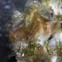 Baltoji jūrų gilė - Amphibalanus improvisus | Fotografijos autorius : Gintautas Steiblys | © Macrogamta.lt | Šis tinklapis priklauso bendruomenei kuri domisi makro fotografija ir fotografuoja gyvąjį makro pasaulį.
