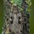 Juodadėmis dirvinukas - Xestia triangulum | Fotografijos autorius : Žilvinas Pūtys | © Macrogamta.lt | Šis tinklapis priklauso bendruomenei kuri domisi makro fotografija ir fotografuoja gyvąjį makro pasaulį.
