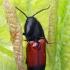 Juodagalvis kelmaspragšis - Ampedus balteatus | Fotografijos autorius : Gintautas Steiblys | © Macrogamta.lt | Šis tinklapis priklauso bendruomenei kuri domisi makro fotografija ir fotografuoja gyvąjį makro pasaulį.
