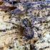 Juodajuostis skylūnėlis - Metellina merianae   Fotografijos autorius : Kazimieras Martinaitis   © Macrogamta.lt   Šis tinklapis priklauso bendruomenei kuri domisi makro fotografija ir fotografuoja gyvąjį makro pasaulį.