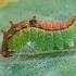 Juodataškis lenktasparnis - Drepana falcataria, vikšras | Fotografijos autorius : Gintautas Steiblys | © Macrogamta.lt | Šis tinklapis priklauso bendruomenei kuri domisi makro fotografija ir fotografuoja gyvąjį makro pasaulį.