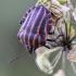 Juostelinė skydblakė | Fotografijos autorius : Darius Baužys | © Macrogamta.lt | Šis tinklapis priklauso bendruomenei kuri domisi makro fotografija ir fotografuoja gyvąjį makro pasaulį.