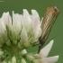 Juostuotasis žolinis ugniukas - Chrysoteuchia culmella | Fotografijos autorius : Vidas Brazauskas | © Macrogamta.lt | Šis tinklapis priklauso bendruomenei kuri domisi makro fotografija ir fotografuoja gyvąjį makro pasaulį.