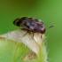 Juostuotasis niūravabalis - Orchesia undulata | Fotografijos autorius : Romas Ferenca | © Macrogamta.lt | Šis tinklapis priklauso bendruomenei kuri domisi makro fotografija ir fotografuoja gyvąjį makro pasaulį.