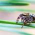Juostuotasis pušinukas - Dendryphantes rudis | Fotografijos autorius : Oskaras Venckus | © Macrogamta.lt | Šis tinklapis priklauso bendruomenei kuri domisi makro fotografija ir fotografuoja gyvąjį makro pasaulį.