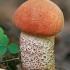 Tikrasis raudonviršis - Leccinum aurantiacum | Fotografijos autorius : Gintautas Steiblys | © Macrogamta.lt | Šis tinklapis priklauso bendruomenei kuri domisi makro fotografija ir fotografuoja gyvąjį makro pasaulį.