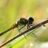 Juosvoji skėtė - Sympetrum danae  | Fotografijos autorius : Ramunė Vakarė | © Macrogamta.lt | Šis tinklapis priklauso bendruomenei kuri domisi makro fotografija ir fotografuoja gyvąjį makro pasaulį.