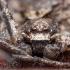 Kamieninis vikrūnas - Philodromus margaritatus ♂ | Fotografijos autorius : Žilvinas Pūtys | © Macrogamta.lt | Šis tinklapis priklauso bendruomenei kuri domisi makro fotografija ir fotografuoja gyvąjį makro pasaulį.