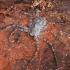 Kamieninis vikrūnas - Philodromus margaritatus ♀ | Fotografijos autorius : Žilvinas Pūtys | © Macrogamta.lt | Šis tinklapis priklauso bendruomenei kuri domisi makro fotografija ir fotografuoja gyvąjį makro pasaulį.