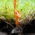 Karingoji grūdmenė - Cordyceps militaris | Fotografijos autorius : Oskaras Venckus | © Macrogamta.lt | Šis tinklapis priklauso bendruomenei kuri domisi makro fotografija ir fotografuoja gyvąjį makro pasaulį.