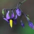 Karklavijas - Solanum dulcamara   Fotografijos autorius : Gintautas Steiblys   © Macrogamta.lt   Šis tinklapis priklauso bendruomenei kuri domisi makro fotografija ir fotografuoja gyvąjį makro pasaulį.