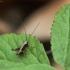 Keršasis žiogas - Pholidoptera griseoaptera | Fotografijos autorius : Vidas Brazauskas | © Macrogamta.lt | Šis tinklapis priklauso bendruomenei kuri domisi makro fotografija ir fotografuoja gyvąjį makro pasaulį.