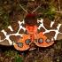 Keršoji meškutė - Arctia caja | Fotografijos autorius : Mantas Kaupys | © Macrogamta.lt | Šis tinklapis priklauso bendruomenei kuri domisi makro fotografija ir fotografuoja gyvąjį makro pasaulį.