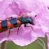 Keršvabalis - Trichodes alvearius | Fotografijos autorius : Gintautas Steiblys | © Macrogamta.lt | Šis tinklapis priklauso bendruomenei kuri domisi makro fotografija ir fotografuoja gyvąjį makro pasaulį.
