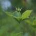 Keturlapė vilkauogė – Paris quadrifolia | Fotografijos autorius : Agnė Našlėnienė | © Macrogamta.lt | Šis tinklapis priklauso bendruomenei kuri domisi makro fotografija ir fotografuoja gyvąjį makro pasaulį.