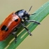 Keturtaškė klitra - Clytra quadripunctata | Fotografijos autorius : Gintautas Steiblys | © Macrogamta.lt | Šis tinklapis priklauso bendruomenei kuri domisi makro fotografija ir fotografuoja gyvąjį makro pasaulį.