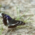 Kilnioji vaiva - Apatura iris | Fotografijos autorius : Vidas Brazauskas | © Macrogamta.lt | Šis tinklapis priklauso bendruomenei kuri domisi makro fotografija ir fotografuoja gyvąjį makro pasaulį.