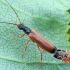Krūminis minkštavabalis - Rhagonycha lignosa | Fotografijos autorius : Gintautas Steiblys | © Macrogamta.lt | Šis tinklapis priklauso bendruomenei kuri domisi makro fotografija ir fotografuoja gyvąjį makro pasaulį.