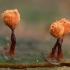 Krekenis - Trichia sp. | Fotografijos autorius : Žilvinas Pūtys | © Macrogamta.lt | Šis tinklapis priklauso bendruomenei kuri domisi makro fotografija ir fotografuoja gyvąjį makro pasaulį.