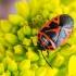 Kryžmažiedinė skydblakė - Eurydema dominulus | Fotografijos autorius : Vaida Paznekaitė | © Macrogamta.lt | Šis tinklapis priklauso bendruomenei kuri domisi makro fotografija ir fotografuoja gyvąjį makro pasaulį.
